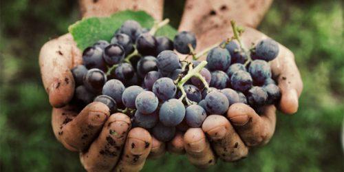 quá trình làm rượu vang Pazzia