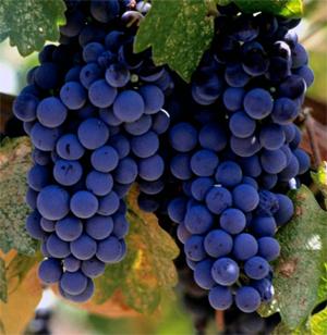 các giống nho làm rượu vang