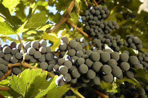 giống nho của rượu vang Codigo